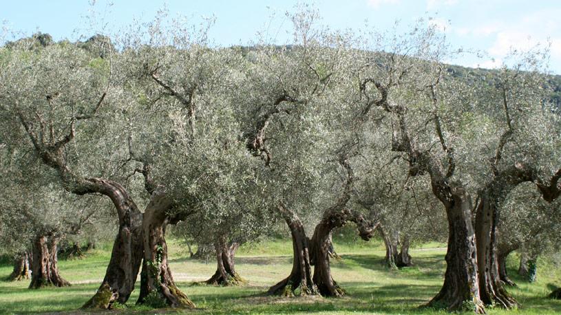 xilella-fastidiosa-ulivi-wiki