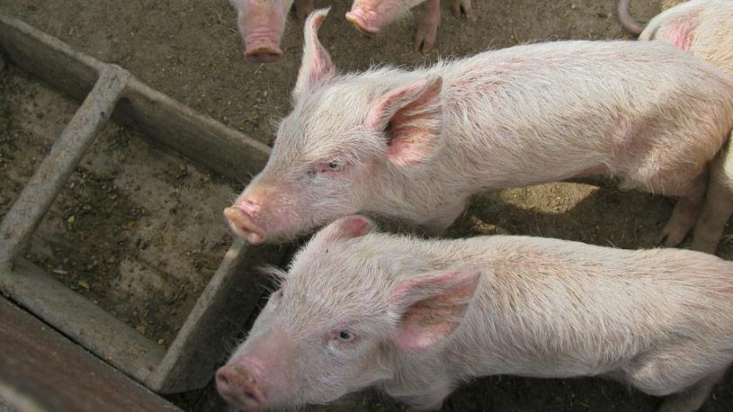 carni-suine-produzione-animale-02-euroconsulting