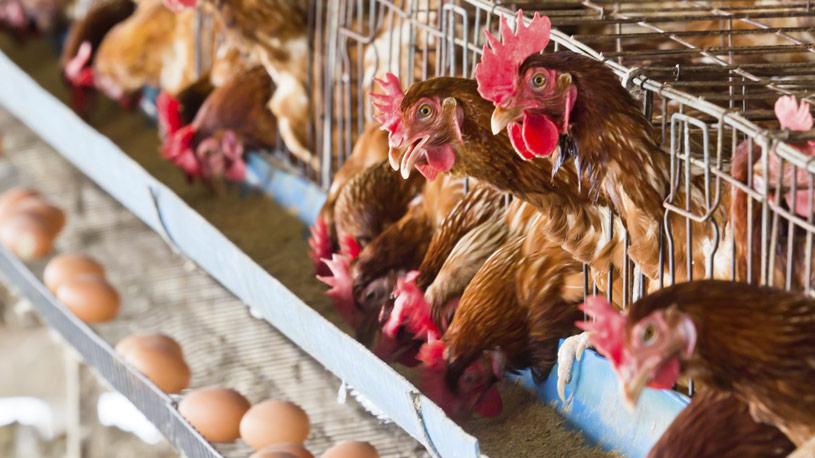 produzione-avicola-01-euroconsulting