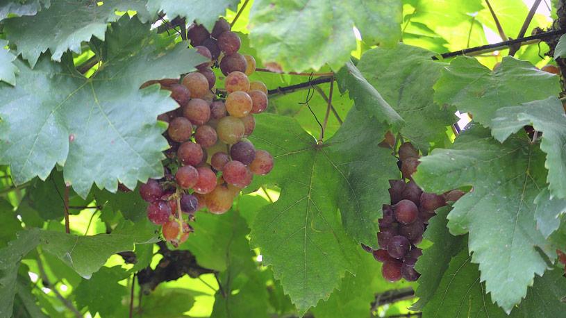 viticoltura-produzione-vegetale-15-euroconsulting