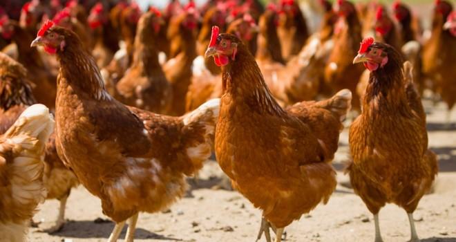 carne-di-pollo-660x350