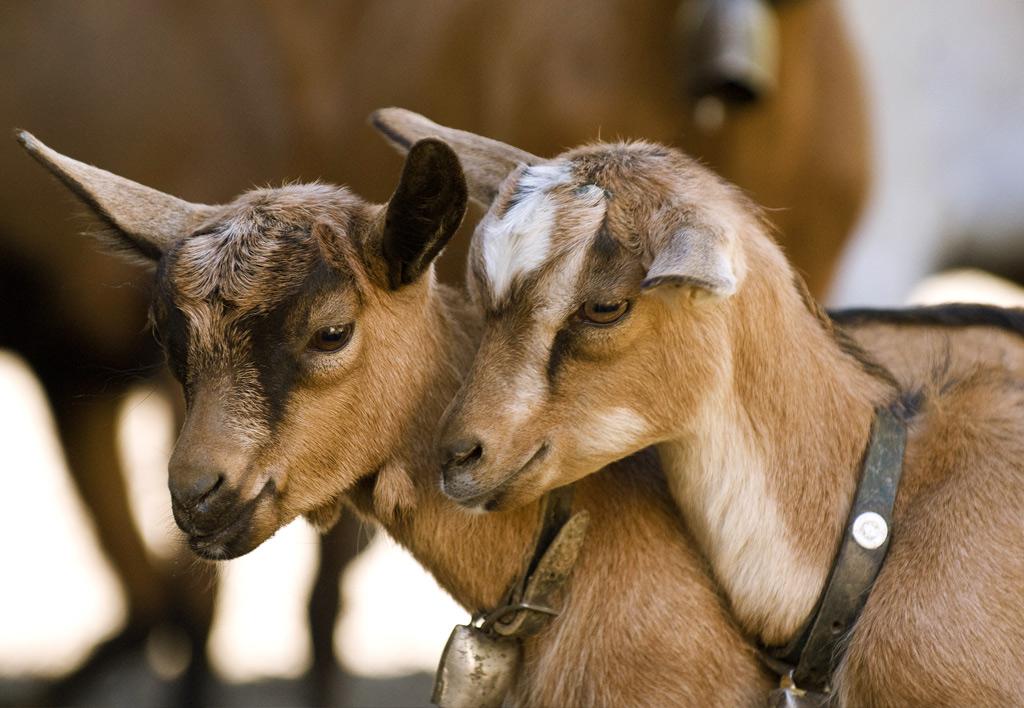 piccoli ruminanti - capre