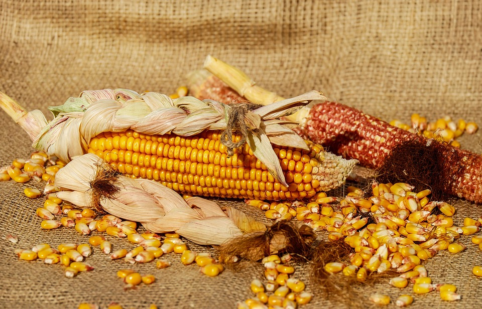 corn-1725636_960_720