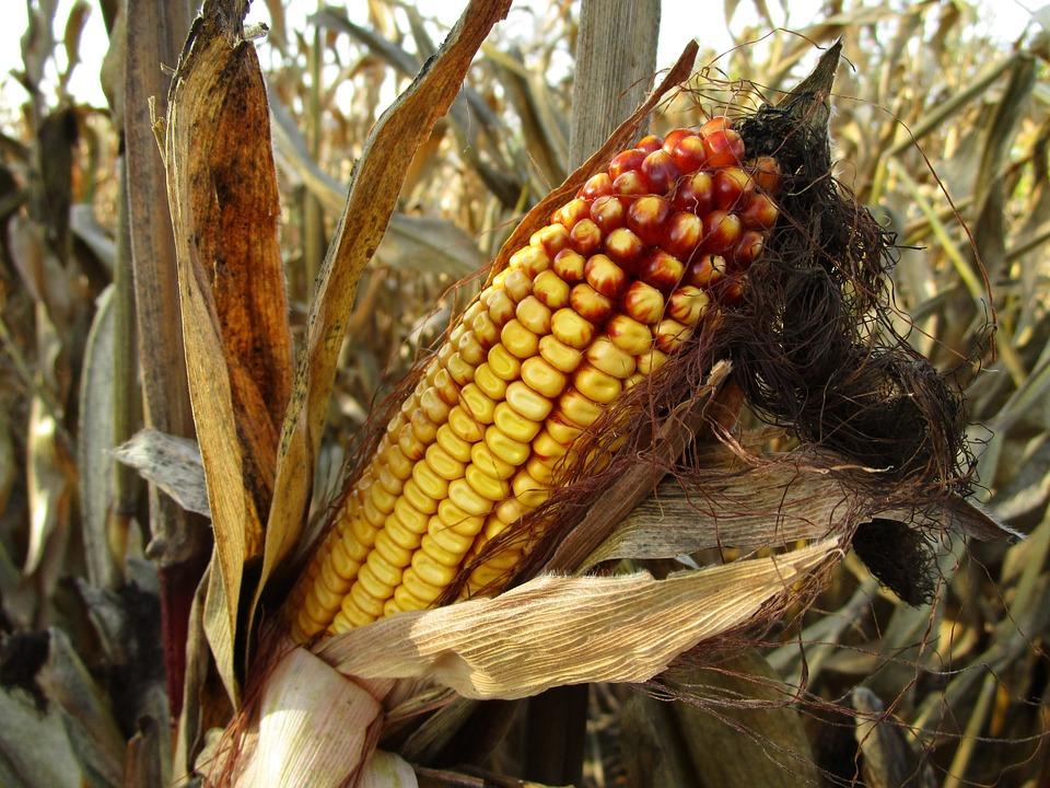 corn-1794085_960_720