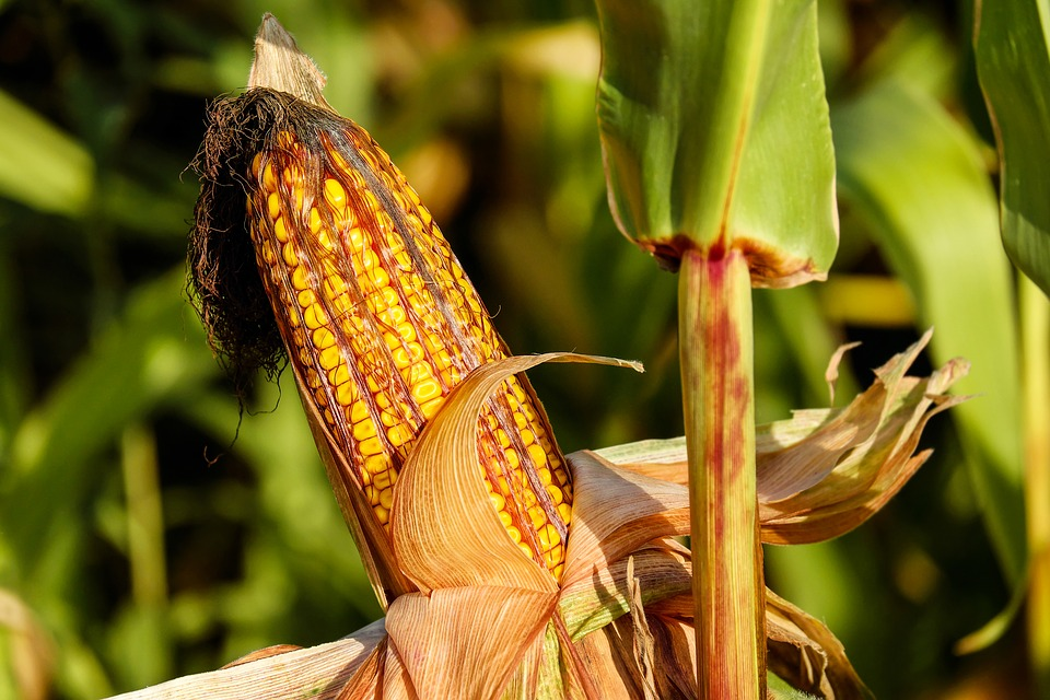 corn-on-the-cob-1690387_960_720