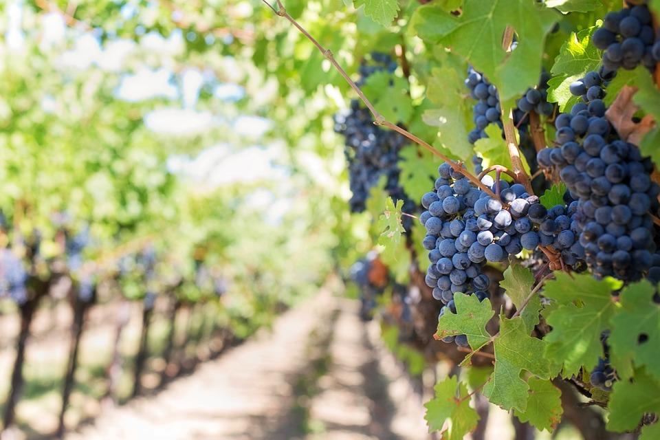 purple-grapes-553462_960_720