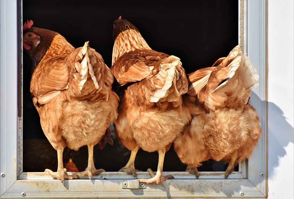 chicken-3607863_960_720